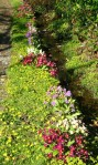Garden Primulas in May