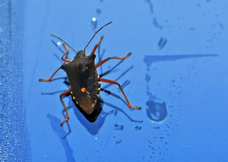 Forest Shield Bug on the window