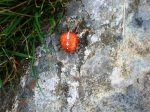 Garden Orb Spider
