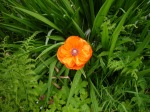 Poppy in the border