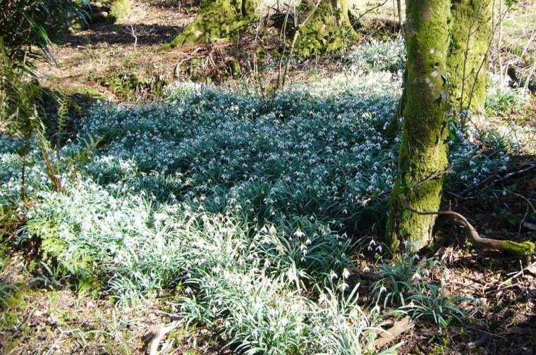 Snowdrops in March