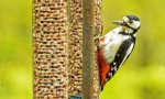 Female Greater Spotted Woodpecker on the Feeder
