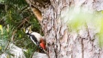 Male Greater Spotted Woodpecker returning to nest
