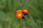 Orange Hawkweed. Fox and Cubs